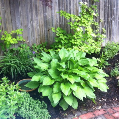 Hosta Mother Of All Shade Plants