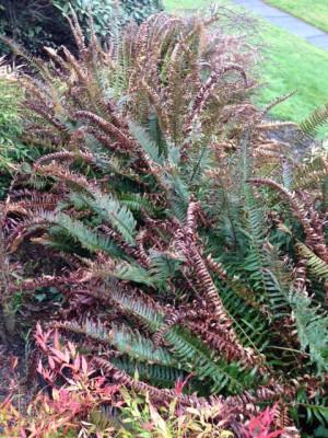 sword fern 2